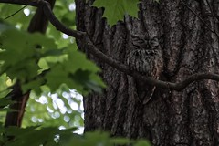 Blink and you may miss this sleeping beauty (beyondhue) Tags: ontario canada tree bird sleep wildlife sony ottawa raptor bark camouflage disguise owl eastern birdwatching screech a6000 beyondhue