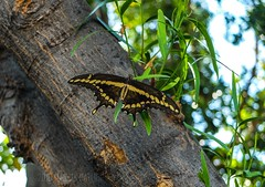 Front & Center (MacroMarcie) Tags: summer tree green butterfly bokeh bark hbw bokehwednesday