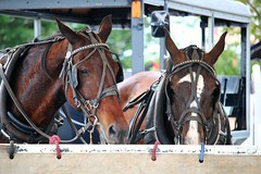 IMG_3798 (joyannmadd) Tags: amish horses intercourse pennsylvania kitchenkettlevillage farm animals lancaster coumty pa farms nature outdoors