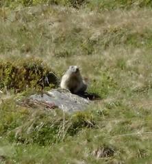 Groundhog (eltpics) Tags: swimming rodent digging woodchuck groundhog burrowing hibernator eltpics
