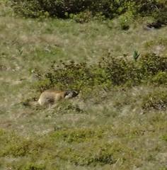 Groundhog 2 (eltpics) Tags: swimming rodent digging woodchuck groundhog burrowing hibernator eltpics
