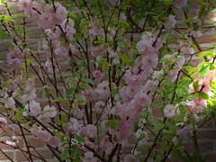 Amandelboom 2016 1 (megegj)) Tags: flower fleur garden jardin tuin fiore garten gert bloem