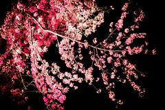 , sensibilit pour l'phmre (www.danbouteiller.com) Tags:      cherry blossoms cherryblossoms hanami mono no aware mononoaware tokyo kudanshita japan japon japonia city ville night nocturne bynight flowers flower leaves pink soft japanese japonais asian asiatique asia asie  canon canon5d eos 5dmk2 5d 50mm 50mm14 5d2 5dm2 black