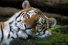 Tiger / Tigre (Doris & Michael S.) Tags: animals zoo tiere tiger tigre tiergarten
