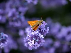 049 Small skipper dof (saxonfenken) Tags: 6916but 6916 butterfly smallskipper insect dof bokeh shllow lavender flower pregame winner