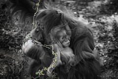 """Ibu and Khaleesi"" at the El Paso Zoo. - Judy Royal Glenn Photography (Judy Royal Glenn) Tags: birthday baby cute nature animal animals zoo texas elpaso orangutan ibu naturephotography zooanimals blackwhitephotography march26 2016 elpasotexas selectivecoloring babyorangutan elpasozoo monthsoftheyear silverefexpro2 khalessi nikcollection judyroyalglennphotography judyroyalglenn"