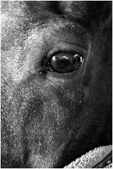 Scuderie San Martino (NYX fotografie.) Tags: horses bw horse white black detail canon part equestrian equine