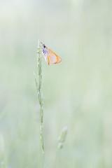 Thymelicus (Rafael Dez) Tags: espaa naturaleza macro primavera alava mariposa thymelicus rafaeldez barriobusto