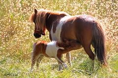 Maternit (roland dumont-renard) Tags: chevaux poulain pouliche tte