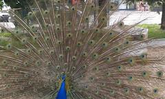 Triuggio  26/06/16-Km 14 (Londrina92) Tags: nature animals outdoor farm peacock lombardia animali nautre ruota pavone lombardy fattoria camminata ristoro triuggio tapasciata