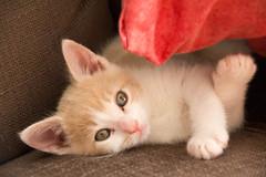 Monsieur Mozart (LAIOS69) Tags: chat vert creme yeux bebe roux oreille langue pote chaton douceur