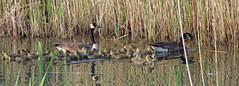 Canada Goose - Bernache du Canada - Branta canadensis (IMG_2825-1F-20120520) (Michel Sansfacon) Tags: canadagoose brantacanadensis bernacheducanada canonpowershotsx40hs