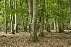 Kyritz-Ruppiner Heide (sielmannstiftung) Tags: deutschland buchenwald brandenburg wittstockdosse