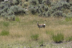 "Pronghorn Antelope • <a style=""font-size:0.8em;"" href=""http://www.flickr.com/photos/63501323@N07/27761810021/"" target=""_blank"">View on Flickr</a>"