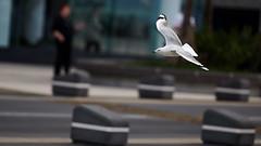 Seagull in Flight (ahsan_s) Tags: city bird animal fly wings nikon bokeh seagull flight feather australia goldcoast captureonepro phaseone d810