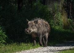 wild boar#2 (Schattentaucher) Tags: wild animal boar tier eber wildschwein