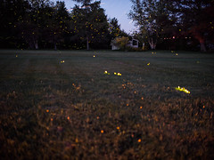 fireflies ((robcee)) Tags: longexposure trees summer sky canada night stars lights voigtlander newbrunswick moncton fireflies geolocation 2016 firebowl 175mm geocity geocountry camera:make=olympusimagingcorp geostate exif:make=olympusimagingcorp camera:model=em1 exif:model=em1 exif:isospeed=1600 livecomposite