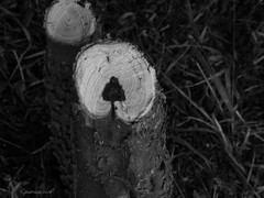Tree in a Tree Stump (Tricia H C) Tags: white black tree nature treestump hiddenimage