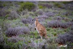 Euro/Walleroo (_Red Dog_) Tags: euro walleroo kangaroo national park wildlife exmouth cape range north west animal mammal macropod