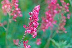 Pink Breezes (~DGH~) Tags: flowers canada macro bokeh blossoms indigo july alberta stalbert 2015 bokehwednesday smcpentaxdfamacro100mmf28wr stalbertbotanicpark ~dgh~ pentaxk50