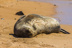 monkseal1Jun17-16 (divindk) Tags: hawaii hawaiianislands kauai neomonachusschauinslandi beach cute endangeredspecies hawaiianmonkseal lazy marine marinemammal monkseal seal sunshine whiskers