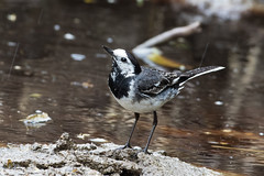 Pied Wagtail (Motacilla alba) (drbut) Tags: nature water birds outdoor wildlife wetland piedwagtail motacillaalba motacillidae pipitsandwagtails