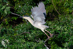 Black-crowned Night Heron - 16 (RGL_Photography) Tags: heron birds us newjersey unitedstates wildlife birdsinflight oceancity jerseyshore ornithology mothernature rookery bif blackcrownednightheron nycticoraxnycticorax wadingbirds capemaycounty migratorybirds wildlifephotography nikond500 greateggharborbay littlefingerchannel staintonmemorialcauseway nikonafs200500mmf56eedvr