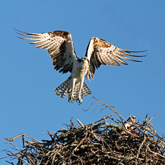 Celebration (seddeg ~) Tags: sea stpetersburg nest florida hawk flight celebration wingspan osprey fortdesotoparkturns50