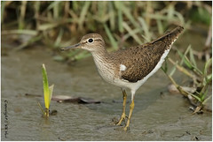 Common Sandpiper - 100513_MG_3293x (KK Hui) Tags: shorebird commonsandpiper