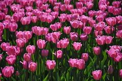 Some of 50.000 tulips at Botanic Garden in Lodz (Agnieszka G.) Tags: pink light primavera luz spring tulips rosa poland polska tulip b