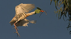 Blind Love (cetch1) Tags: wild nature wildlife breeding egret rookery nesting cattleegret matingdance bubulcusibis wildlifeaction matingbehavior breedingbehavior northerncaliforniawildlife ninthstreetrookery