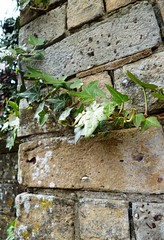 Vines (Jams-Paterson) Tags: christchurch england plant brick church nature rain wall leaf vines may dorset 2013
