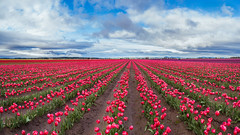 Large pink tulip field in beautiful sky (Kanonsky) Tags: seattle morning pink red sky mountain plant flower color tree nature floral beautiful beauty field bulb clouds barn landscape photography washington leaf spring flora colorful tulips bright cloudy blossom farm vibrant seasonal harvest scenic vivid row petal valley bloom agriculture springtime