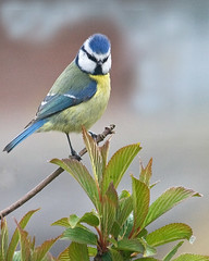 Blue tit on Viburnum (Richard Bradshaw1) Tags: blue is ngc f45 usm bluetit 100400mm gardenbirds 56l titviburnumef