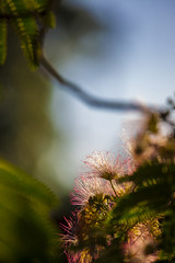 Mimosa Dream 01 (BullockStudios) Tags: pink red white flower tree green fan texas katy south feather bloom fiber mimosa