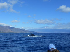 Maui Feb 2013 (biggintoo) Tags: hawaii maui hana beaches whales lahaina whalewatching