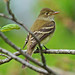 Flycatcher - Acadian or...
