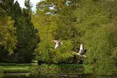 Some geese taking flight over lake (draco-man2) Tags: bird nature water garden landscape nikon scenery flight scenic views local tamron spaf90 d3100