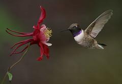 Black-Chinned Hummingbird (ken.helal) Tags: hummingbirds