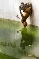 Narcisuss (Universal Stopping Point) Tags: nepal reflection fountain pool monkey kiss upsidedown drinking hanging kathmandu monkeytemple swayambhunathstupa