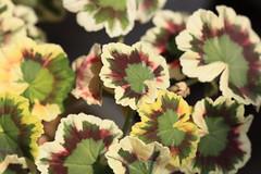 Variegated Geranium /  (TANAKA Juuyoh ()) Tags: 5d markii hi high res hires resolution   tochigi mooka igashira park        leaf green variegated geranium    background pattern wallpaper