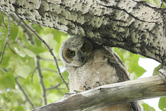 This does not look comfortable (pamfromcalgary) Tags: calgary bird nature alberta greathornedowl