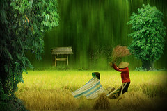 Harvesting (iDruz A) Tags: new people green nature digital canon landscape asia fineart surreal farmer ricefield artphoto magicalart