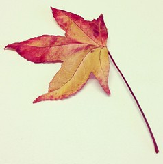 Autumn Leaf (Hueystar) Tags: autumn red white smart yellow mobile leaf alone phone 5 iphone