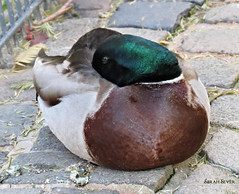 Mallard (WhyCallSarah) Tags: bird canon germany birding sx40