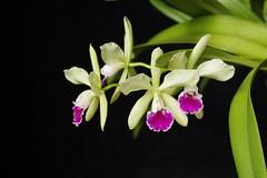Epicattleya El Hatillo (miss_no_name) Tags: orchid epicattleya