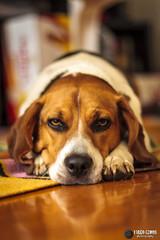 Cleo (Tiago SWR) Tags: beagle dogs boring