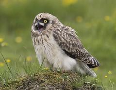Short-eared Owl 23 (brandugla) (Svenni and his Icelandic birds.) Tags: shortearedowl asioflammeus brandugla