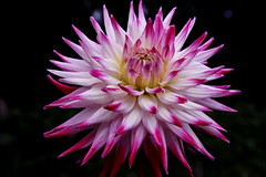 Star dahlia (Maria Middelares) (ToJoLa) Tags: pink dahlia summer canon garden star eindhoven zomer tuin soe roze bloem ster 2013 dahliatuin mariamiddelares dahliavereniging