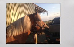 Pret met Sarah (gill4kleuren - 11 ml views) Tags: life horse me sarah fun outside happy running gill saar paard haflinger saarsarahhorsehaflingerfun